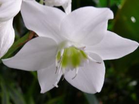 amazon lily