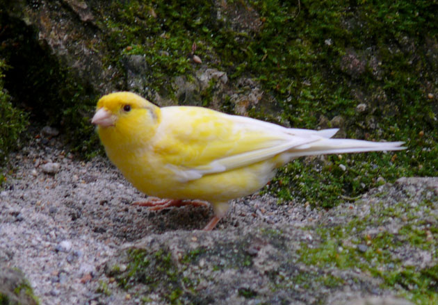 Canary With Rings Around Eyes