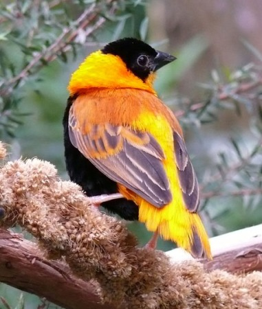 Orange Bishop Weaver finch