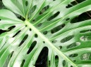 holey philadendron sm