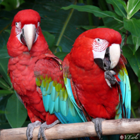 Carmen and Maria, Green Winged Macaws at the Bloedel Conservatory. Photo by Vicky Earle