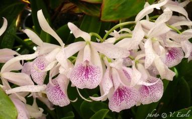 orchid line.sm