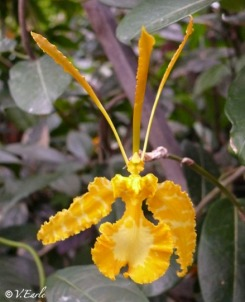 Yellow Butterfly Orchid (Psychopsis papilio Lindl. H.G.James)