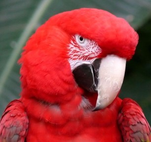 v.earle_red macaw.5x5