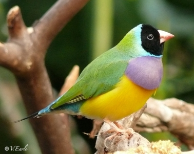 Black faced gouldian_sm copy