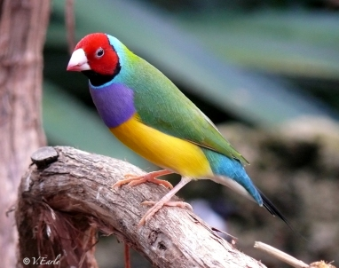 gouldian red headed_sm
