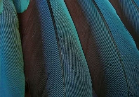blue macaw feathers_250