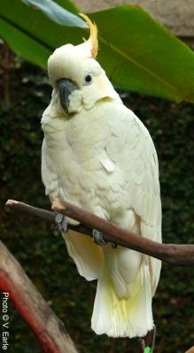 Gidget, Citron-crested Cockatoo