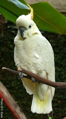 Gidget, Citron-crested Cockatoo
