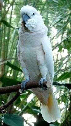 Kramer, the Moluccan cockatoo (Cacatua moluccensis)