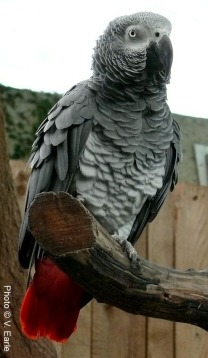 Rudy, the African Grey Parrot (Psittacus erithacus erithacus)