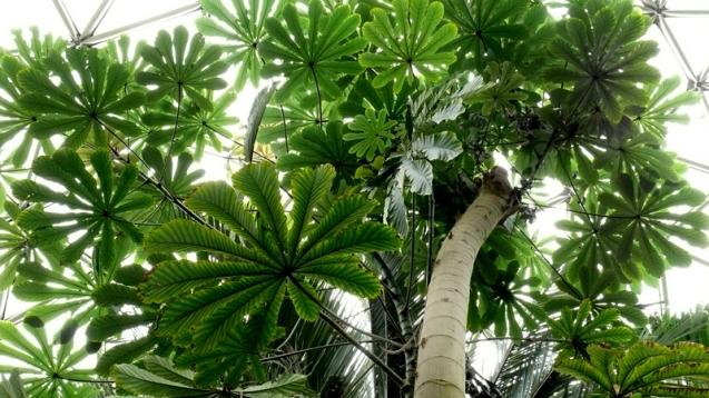 cecropia tree_250