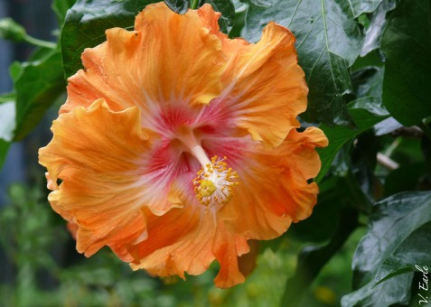 V.Earle orange hibiscus