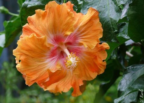 V.Earle orange hibiscus