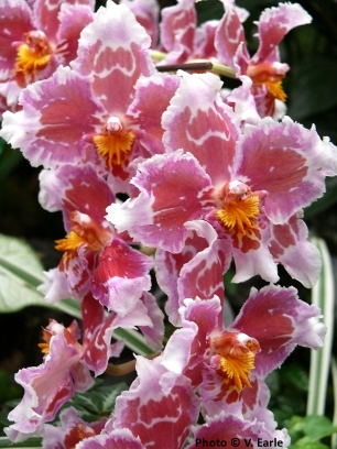 red white_odontoglossum sm copy