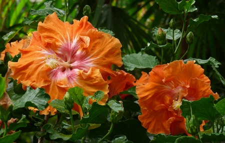 orange hibiscus sm