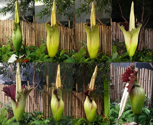©V.Earle Bloedel Titan arum cycle